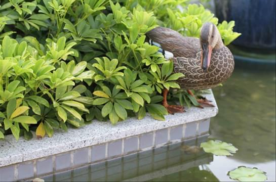 动物刻画雕塑园林小品之农家鸭子